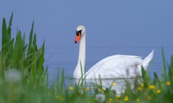 Mute swan, Cygnus olor. In the early morning, the bird swims in the river near the shore