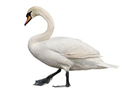 Mute swan, cygnus olor isolated on white background, clipping path