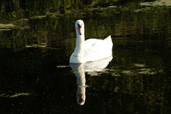 Mute swan (Cygnus olor) mute swan floating on the green water of the canal with reeds in the background
