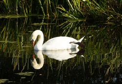 Mute swan (Cygnus olor) mute swan lazing in the green water of the pond with reeds in the background and reflected in the water