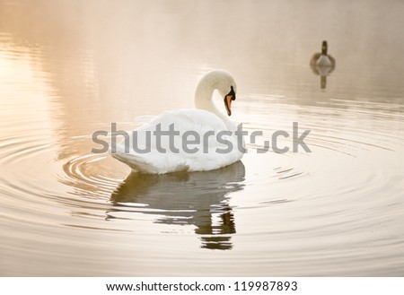 Mute swan (Cygnus olor) resting on a mist covered lake at dawn