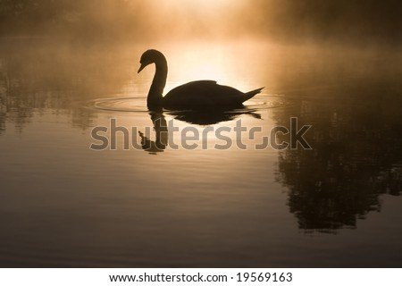 Mute Swan (Cygnus olor) silhouetted against rising sun