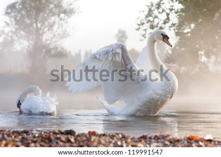 Mute swan (Cygnus olor) stretching on a mist covered lake at dawn