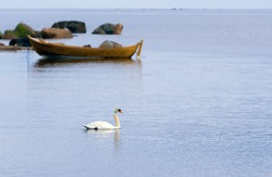 Mute swan (Cygnus olor) swim on the tranquil bay. Old tree boat on the background.