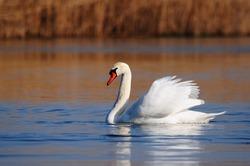 Mute swan (Cygnus olor) swimming in a lake