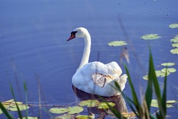 Mute Swan (Cygnus olor) swims and feeds in the pond on a summer morning. White beautiful swan swimming on lake water in summer.
