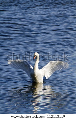 Mute Swan (Cygnus olor) with wings outstretched on blue water