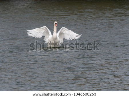 Mute Swan flapping in lake #1046600263