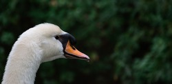 Mute Swan head close up portrait while green leaves in background.