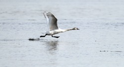 Mute Swan is taking off from water. Swan running on water at River Danube in Zemun, Belgrade,Serbia.