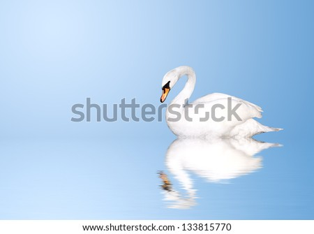 Mute swan on blue water