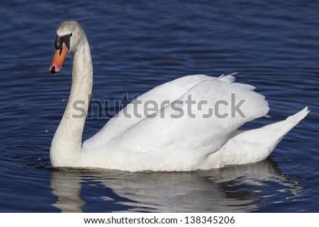Mute Swan on water - stock photo
