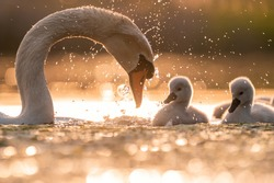 Mute swan playing with baby swans at golden hour light on the lake