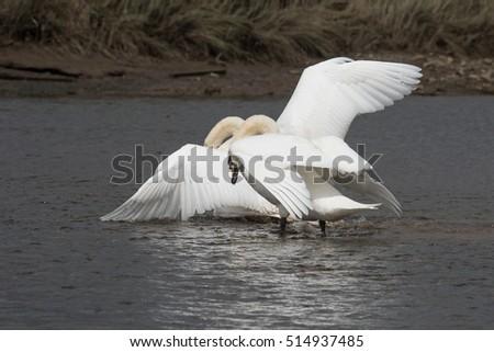 Mute Swan, Swans - fight. #514937485