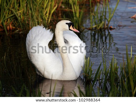 Mute Swan with wings slightly open resting in water