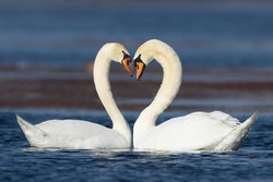 Mute Swans displaying courting rituals