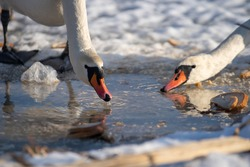 Mute swans on a frozen lake. Hungry birds in winter. Feeding swans at the ice hole. Bird drinking water. Mute swans eat bread on a frozen lake, junk food for wild birds.