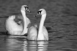 Mute swans on the lake, black and white photo