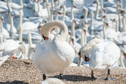 Mute Swans preening its feathers. Cygnus olor. A large gathering of Mute Swans on the water - Cygnus olor.