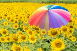 muticolor umbrella in sunflower field. Sunflower field in summer season.