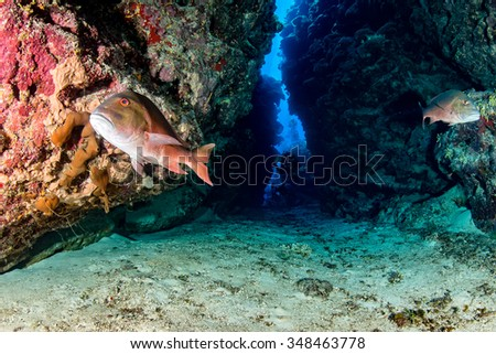 Mutton Snapper and SCUBA divers inside a deep underwater canyon #348463778