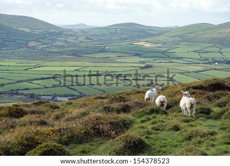 Muttons And Overview Of Countryside In Ireland
