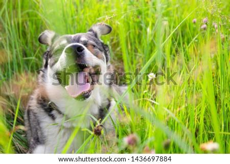 muzzle cheerful cheerful dog among green grass