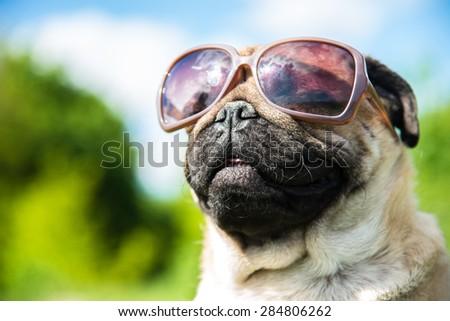 Muzzle dog in sunglasses