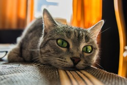 Muzzle of a beautiful green-eyed cat close-up. The gray cat is lying on the bed. Soft selective focus.