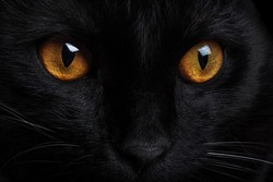 Muzzle of a black cat with yellow eyes close-up. Portrait of a black cat.