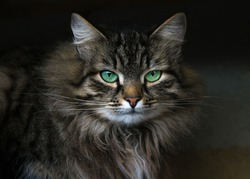Muzzle of a spotted tabby cat with green stunning eyes. Fluffy tortoise fur. Serious, proud and insightful look, white mouth. Photo of a luxurious bold cat in a dark key and background.