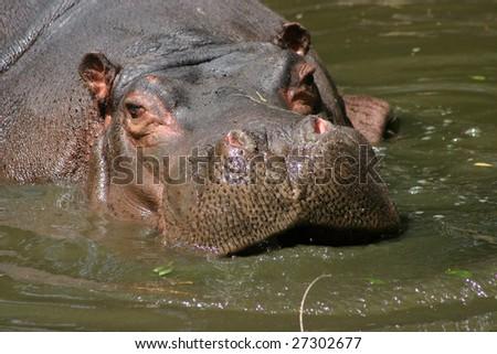 Muzzle of one hippopotamus in water