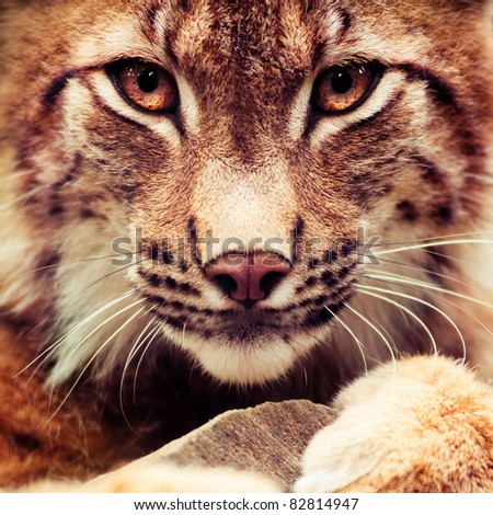 Muzzle of wild lynx close-up