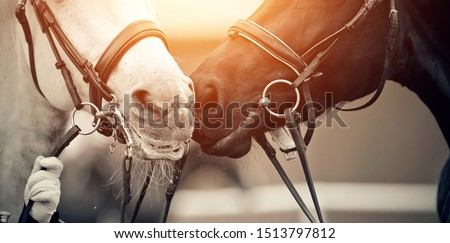 Muzzles two sports horses, black and a white, in bridles. Dressage of horses. Equestrian sport.  Foto stock ©