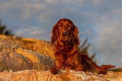 My beautiful female Irish Setter, lies and rests at the edge of the cliff. The sunset brings out her beautiful color, and shiny fur.