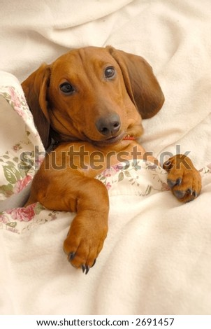 My cute litlle Dachshund Gonzo relaxing under his blanket