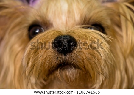 My dog is in a naughty moment.(yorkshire terrier)