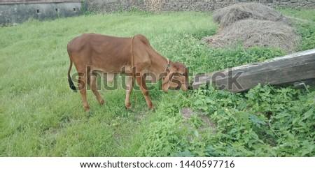 my gir cow very beautiful looking