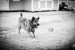 My Lab retriever playing fetch with her ball in the spring. Horizontal pet portrait in black and white.