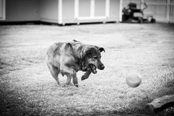 My Lab Retriever playing with her ball. Spring pet portrait-horizontal portrait in black and white.