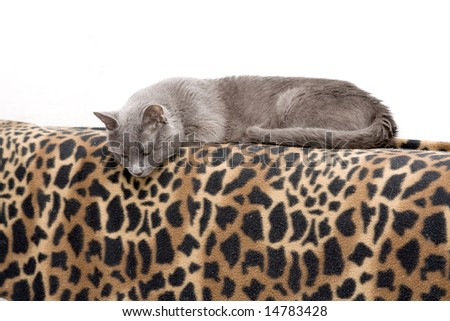 My lovely cat on leopard blanket