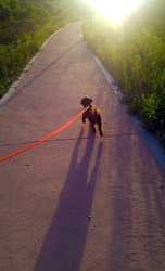 My lovely Choco Poodle is walking.