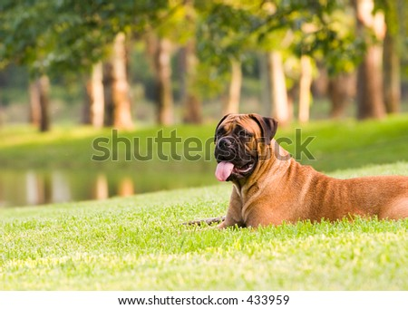 My Lovely Slobber Machine, Red Fawn Bullmastiff Stock Photo 433959