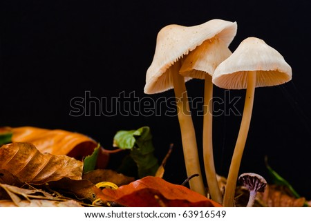 Mycena galericulata on autumn leaves with a black background