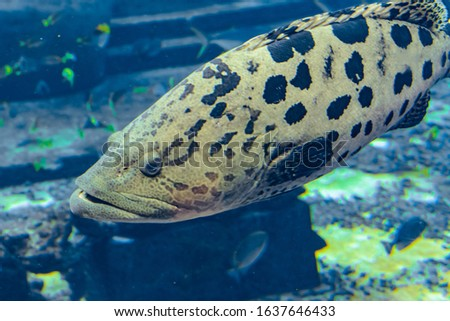 Mycteroperca rosacea (leopard grouper) in the large aquarium is a grouper from the Eastern Central Pacific. It grows to a size of 86 cm in length. Sanya, island Hainan, China.