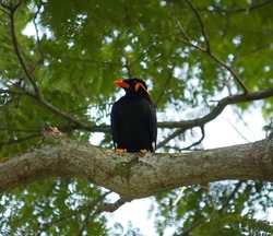 myna the indian bird very fast in air and is very lightweight