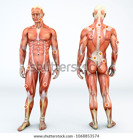 Myofascial trigger points, are described as hyperirritable spots in the fascia surrounding skeletal muscle. Palpable nodules in taut bands of muscle fibers. Front and back view of a man. 3d rendering