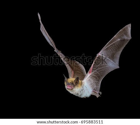 Myotis bat in flight at night with black background