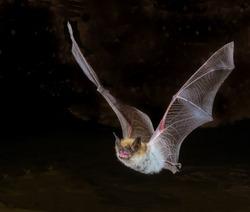 Myotis bat in flight, closeup