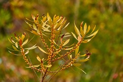 Myrica gale is species of flowering plant in genus Myrica, native to northern and Europe and parts of northern North America. Common names include bog-myrtle sweet willow, Dutch myrtle, and sweetgale.